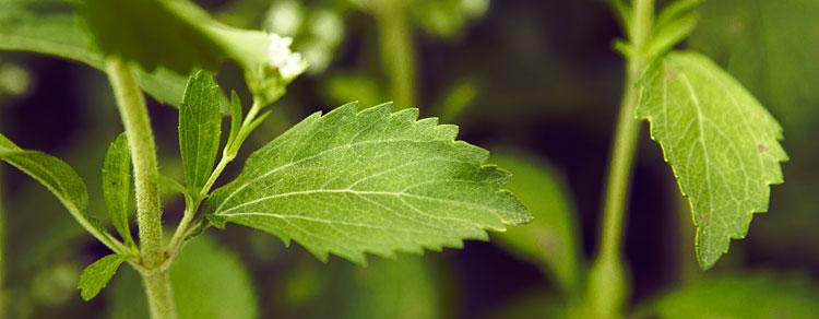 saludable-stevia1