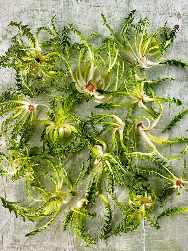La planta de la achicoria o Ciichorium intybus, es de la familia de las asteráceas,